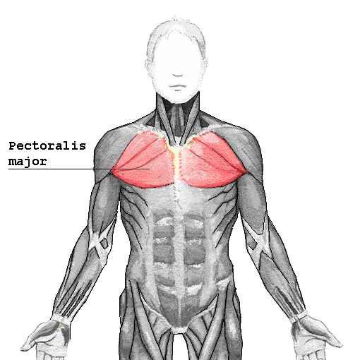 Musculus pectoralis major – Wikipedia