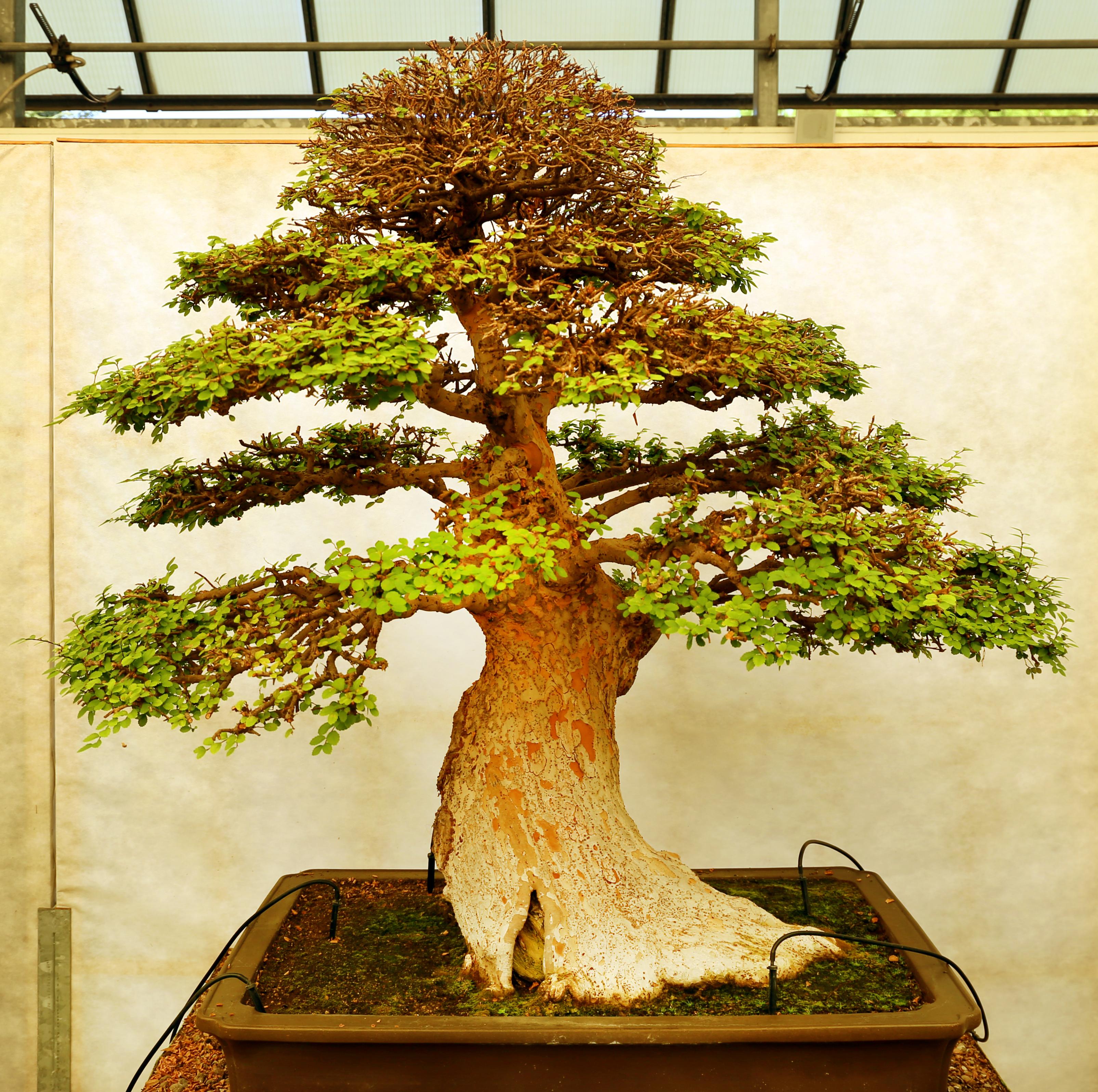 Alberi Nani Da Giardino bonsai - wikipedia