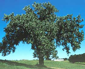 Eastern Cottonwood