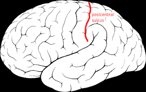 Postcentral sulcus.png