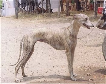 Rampur Greyhound - Dog Scanner