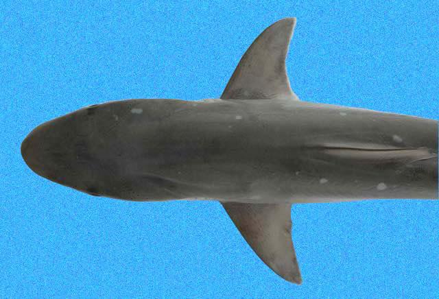 atlantic sharpnose shark wikipedia