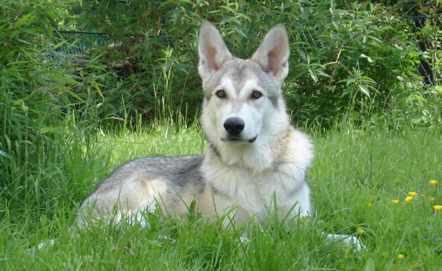 Dog Breeds Search And Rescue