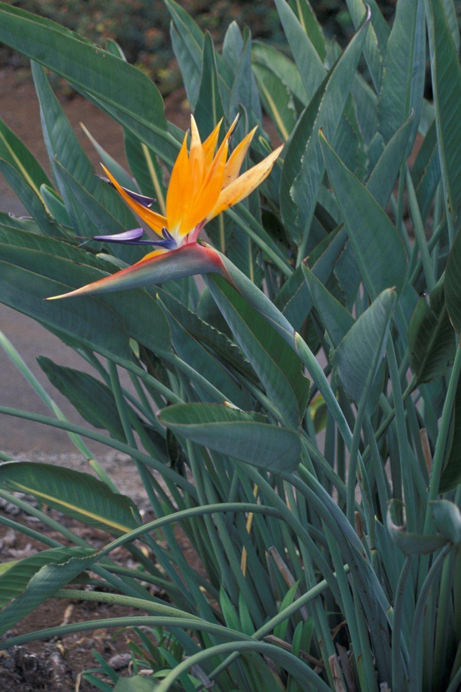 Fiori Uccelli Del Paradiso.Strelitzia Reginae Wikipedia
