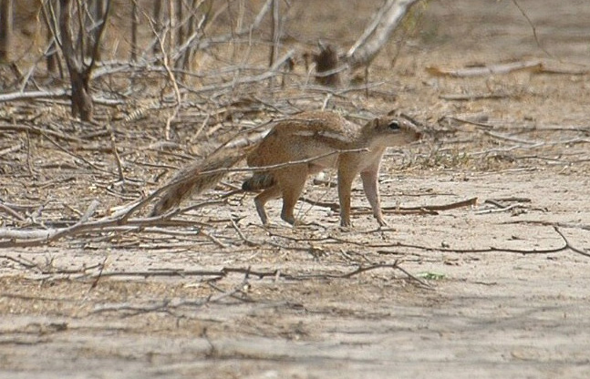 The average litter size of a Xerus erythropus is 3