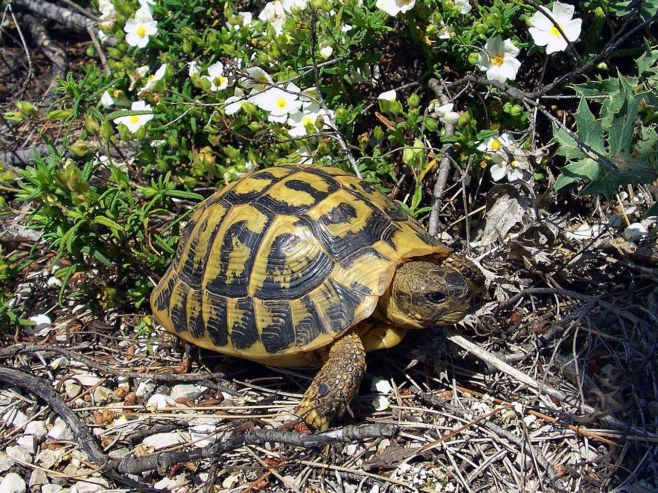 Come Si Chiama Il Guscio Della Tartaruga.Testudo Hermanni Wikipedia