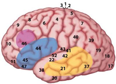 File:The MUC (Memory, Unification, Control) model of language fpsyg-04-00416-g002.jpg