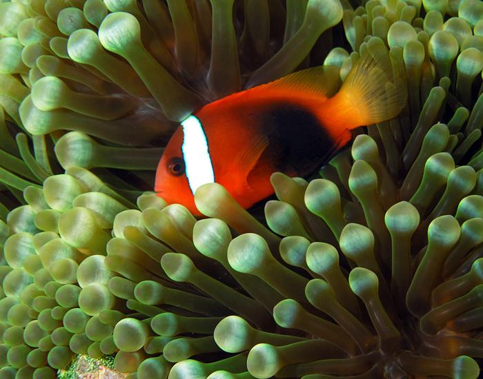 Tomato clownfish anemone - photo#2