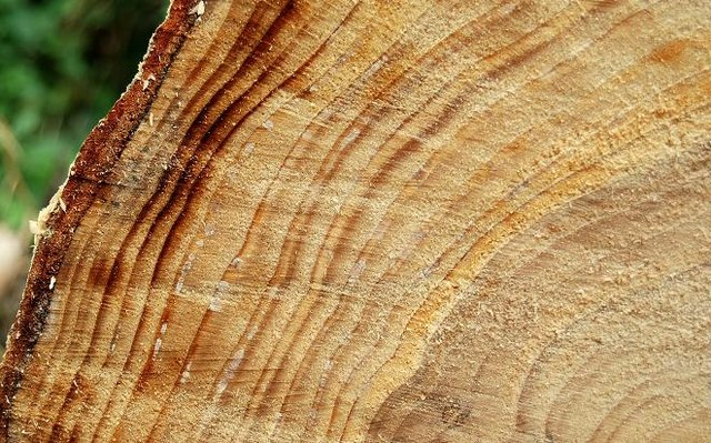 Aging, Life, and Tree Rings