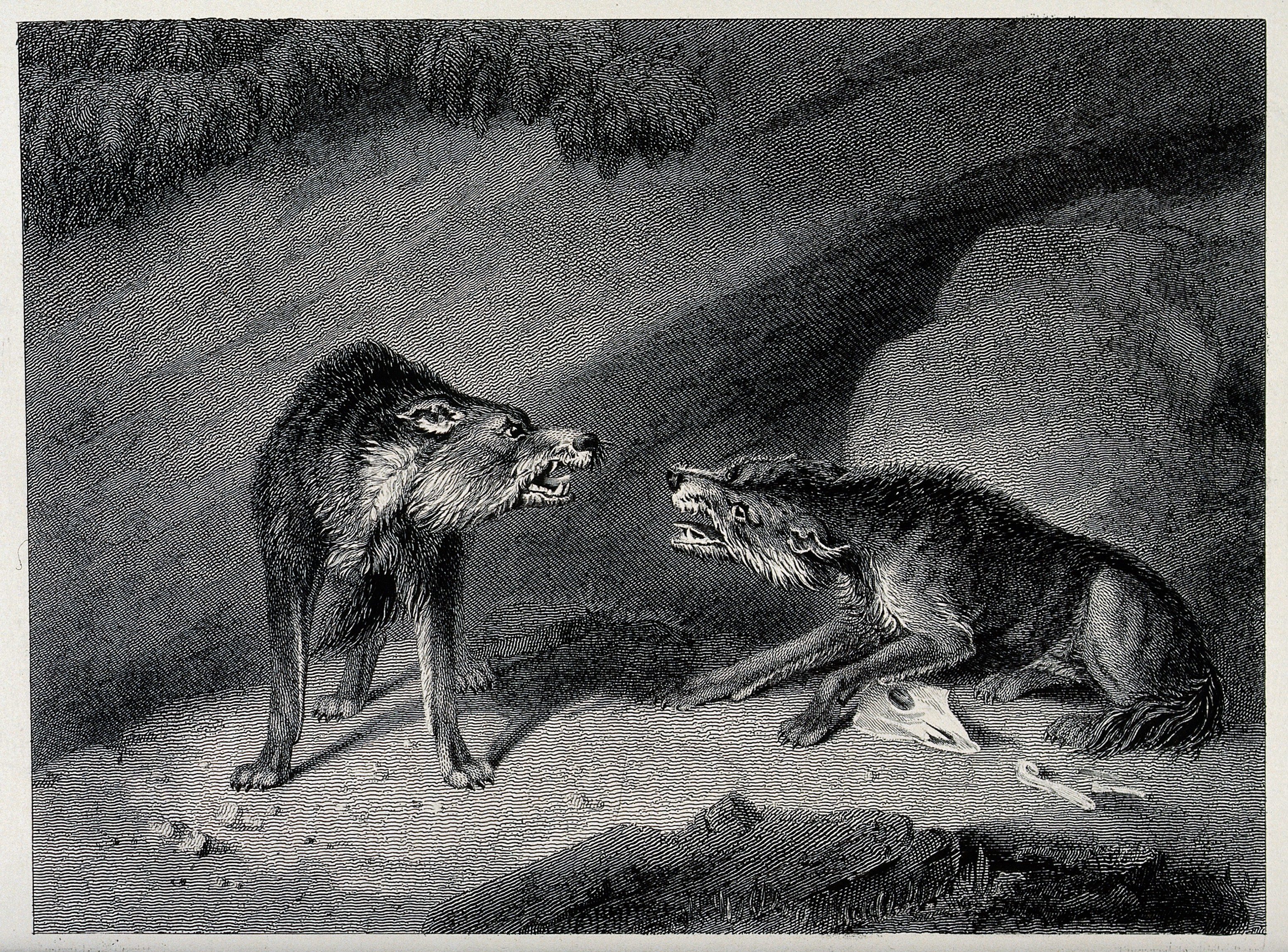 An etching by J Howitt of two wolves snarling over a bone.