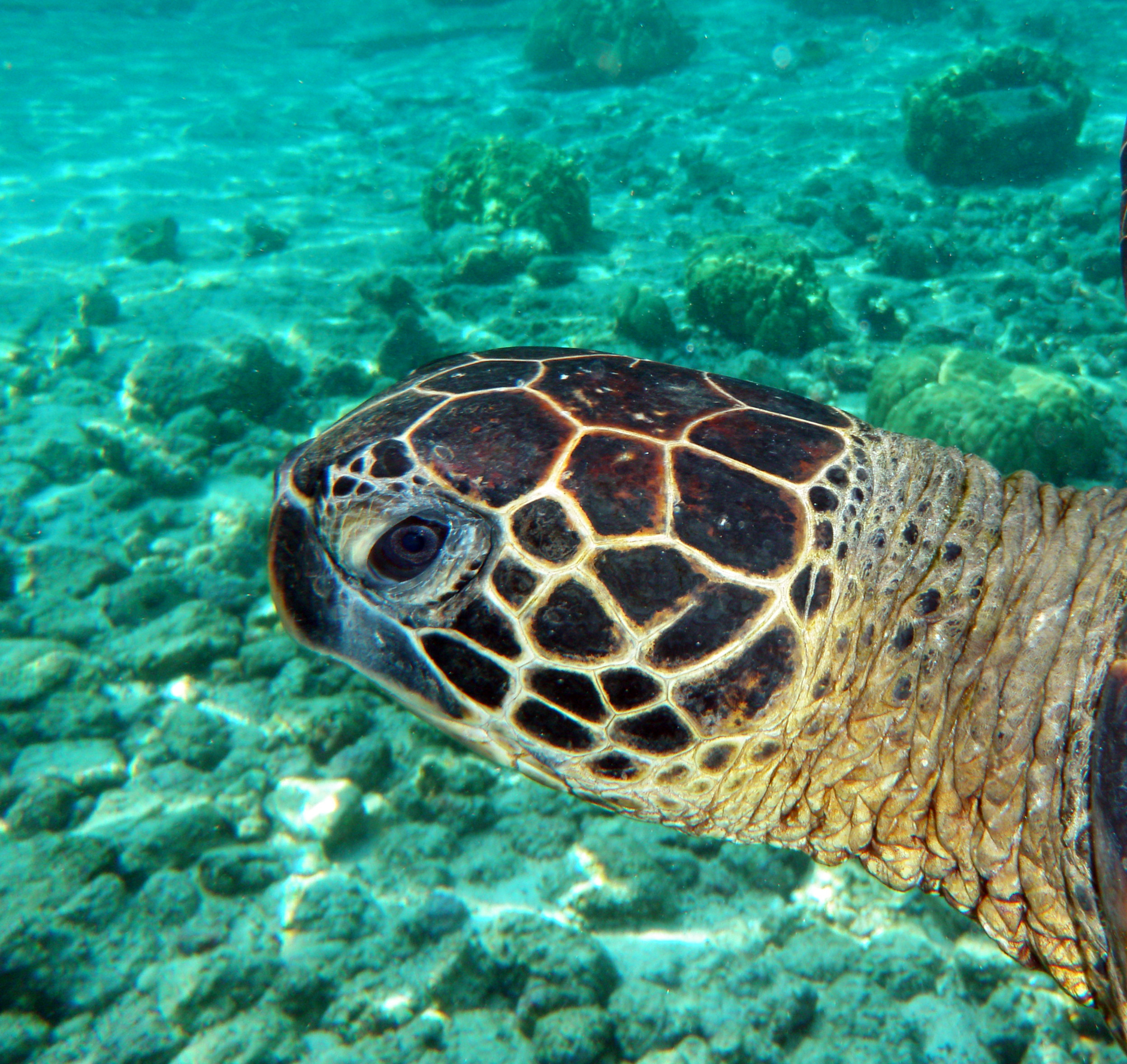 Gren Turtle. Photo: Wikipedia