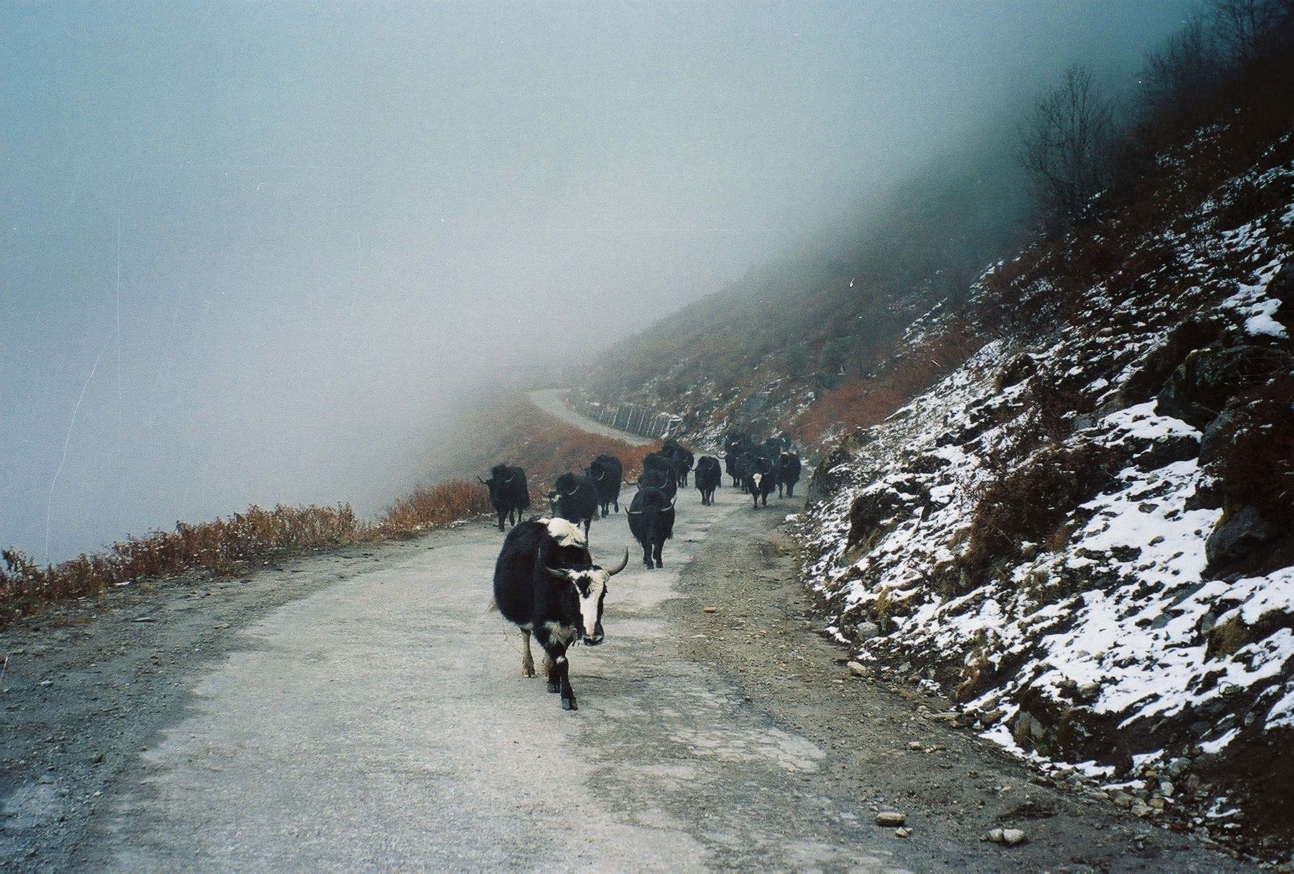 A herd of wild yaks wandering in The Himalayas