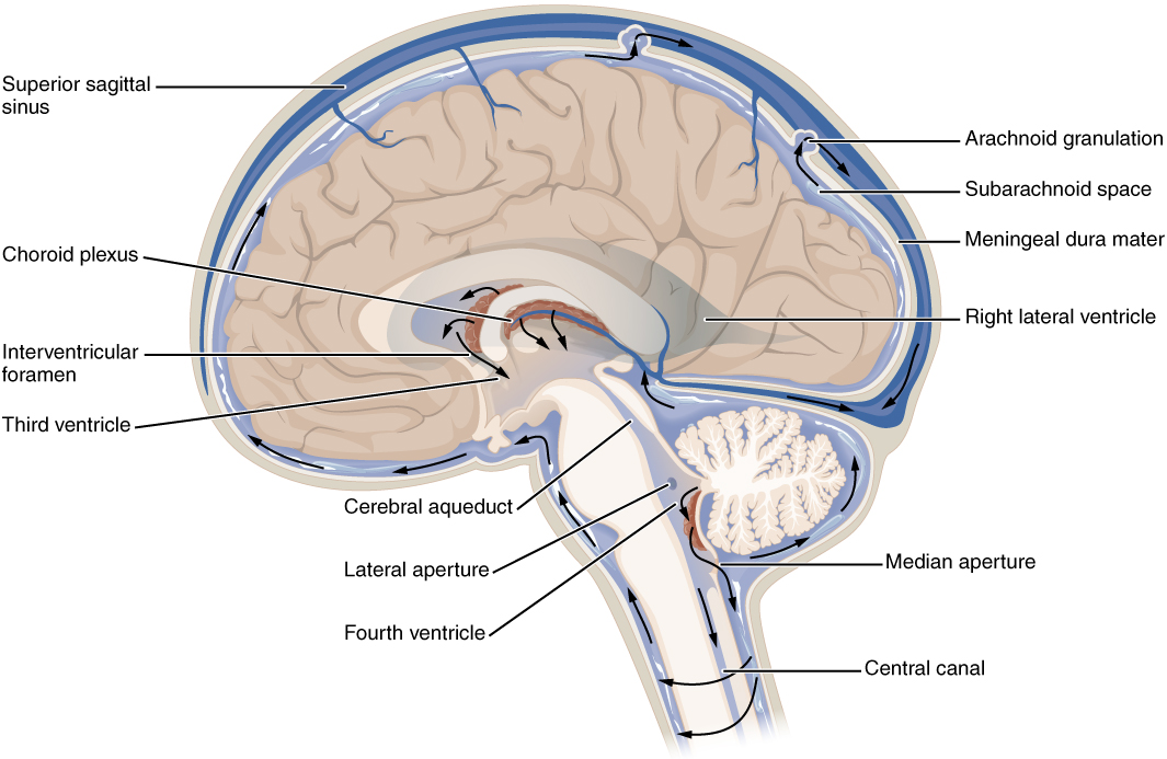 Cerebrospinal fluid on cranial circulatory system