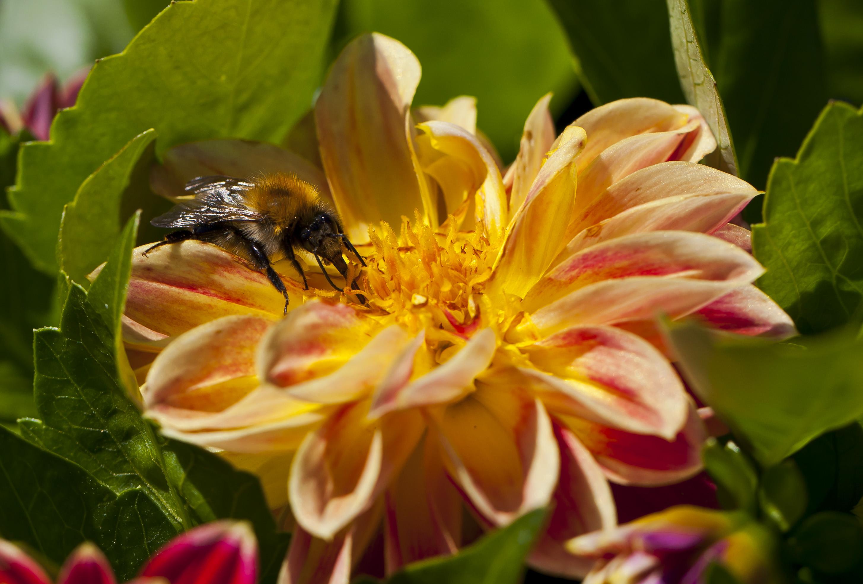 Payl abeja bombus en una dahlia x hortensis jard n for Ahuyentar abejas jardin