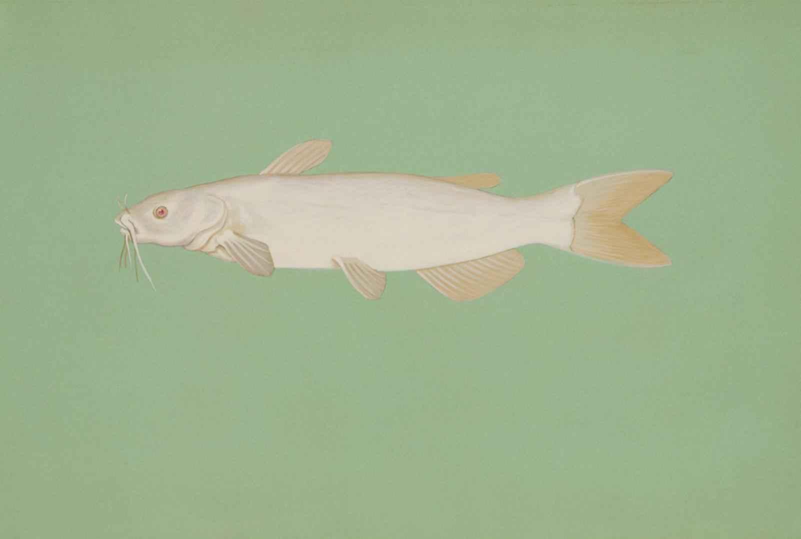 file albino channel catfish ictalurus punctatus jpg wikimedia commons