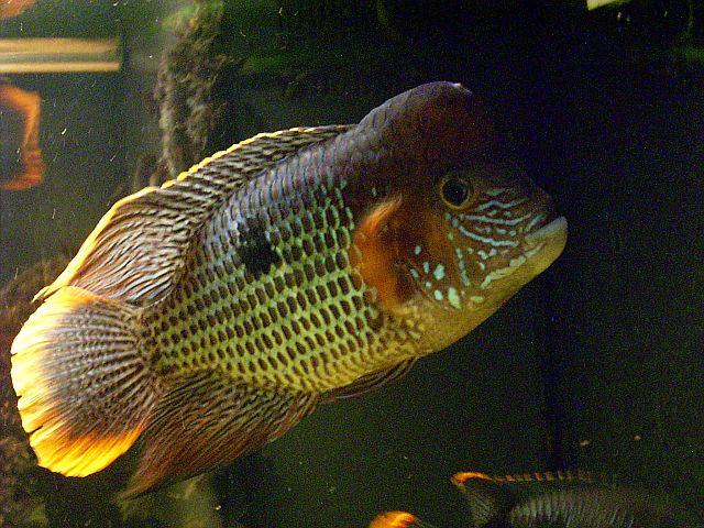 File:Andinoacara rivulatus 'Orangesaum' - 20080317.jpg
