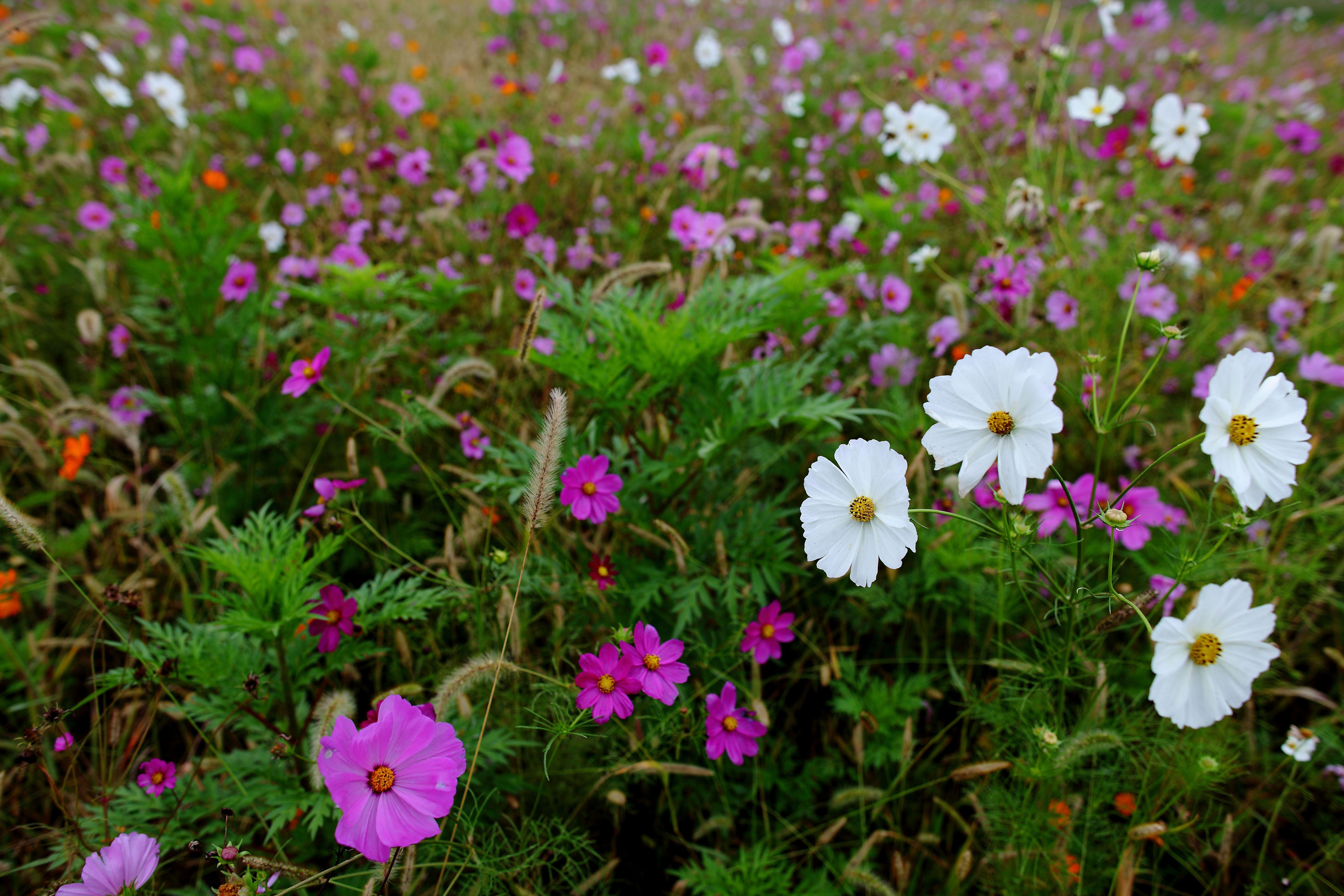 file autumn flower field white flowers virginia