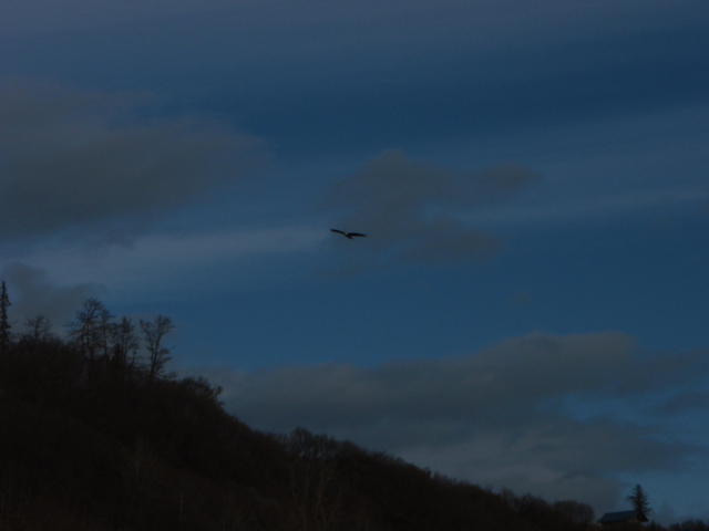 File:Bald Eagle soaring alone the beach area at Whiskey Gulch, Alaska 5-09 - panoramio.jpg