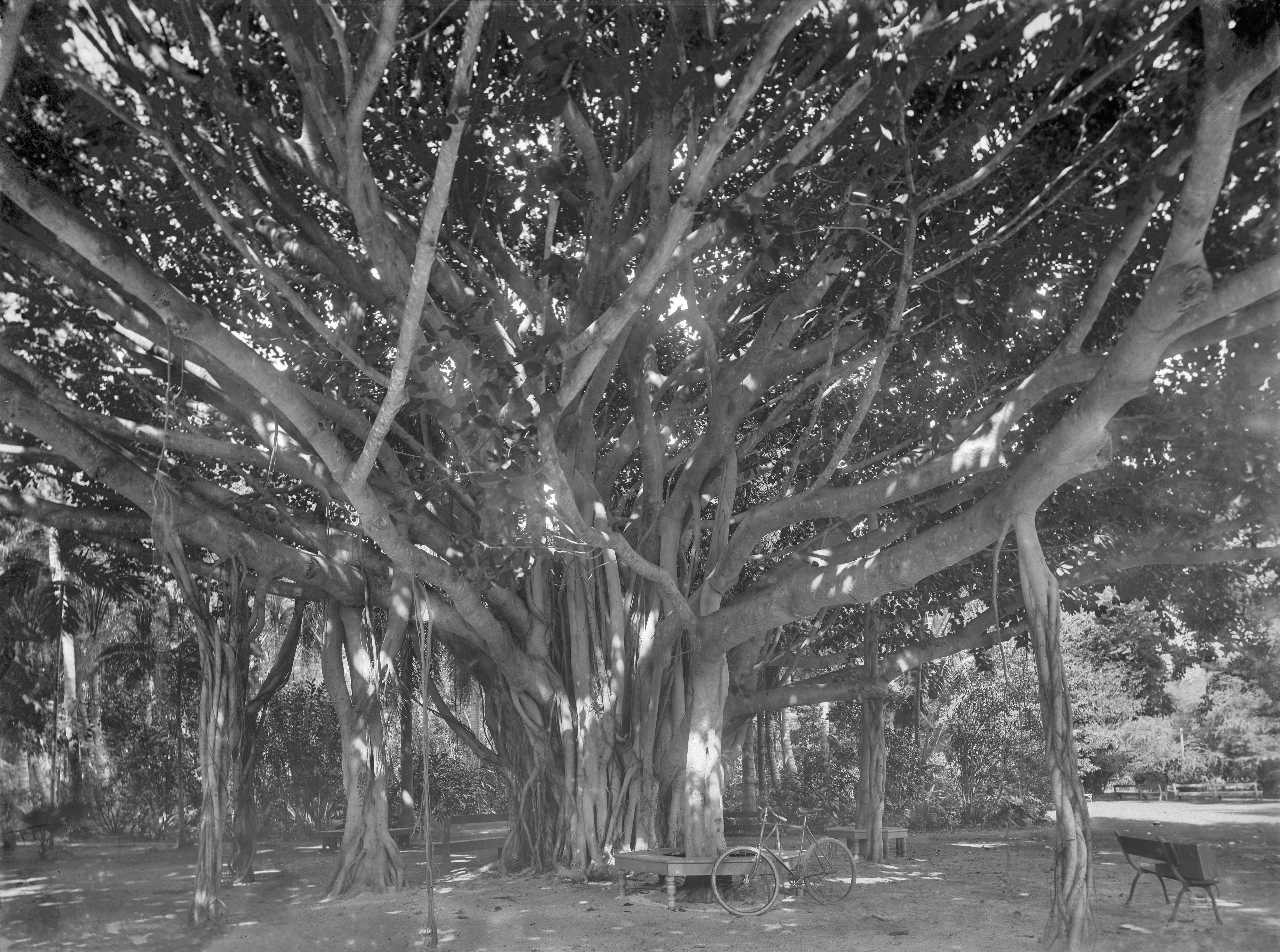 File Banyan Tree Whose Branches Come To The Ground And