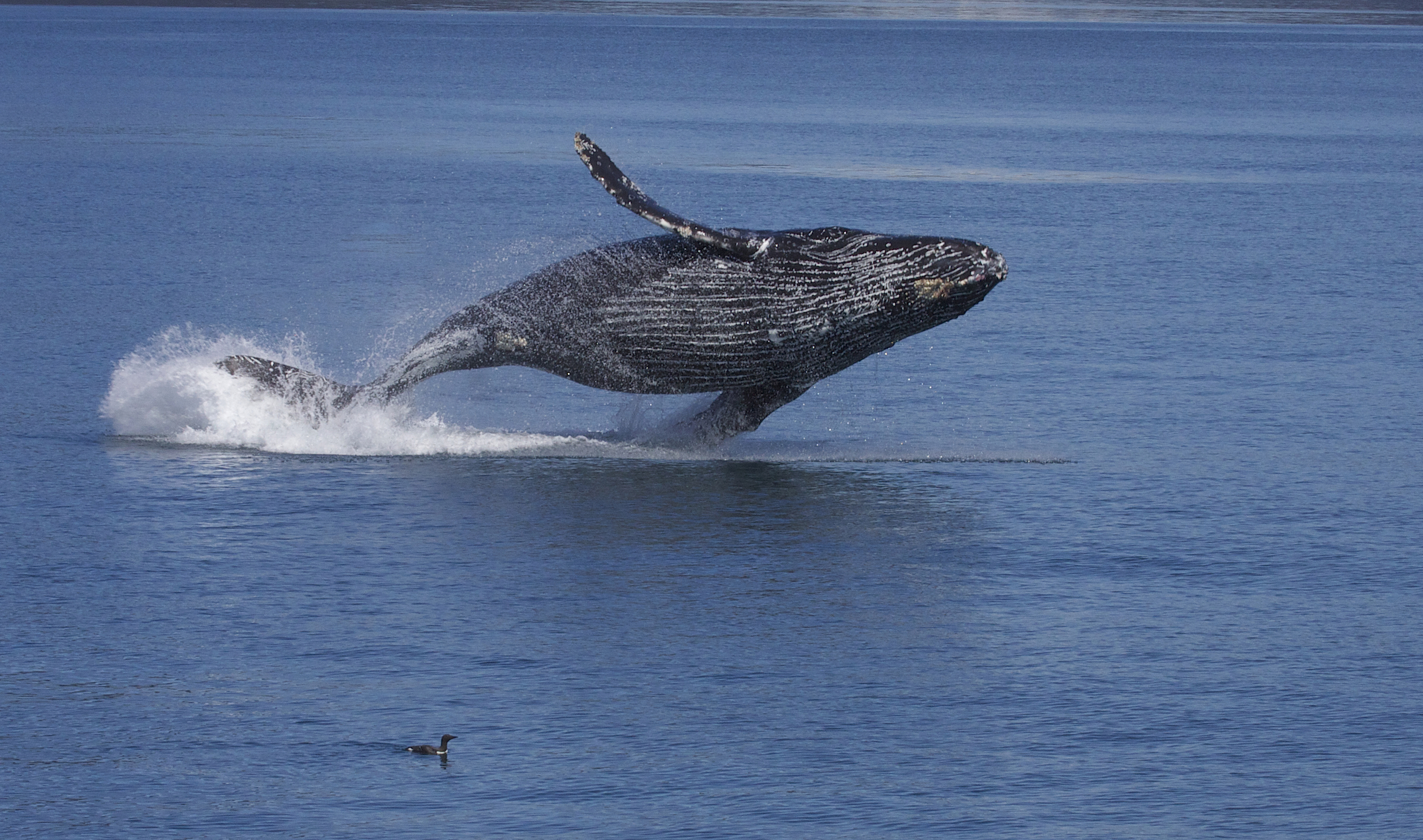 file breaching humpback whale megaptera novaeangliae 9660851285