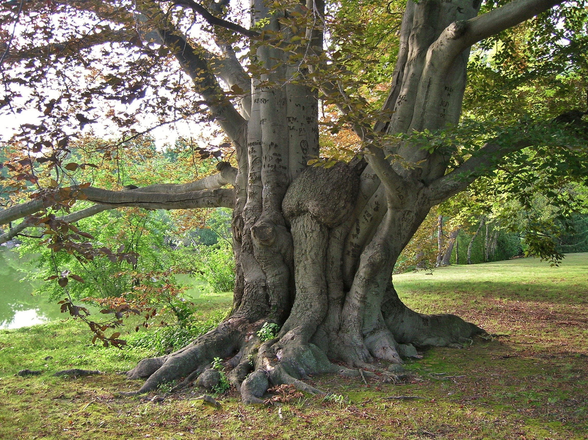 Beech wood is an ideal candidate for firewood