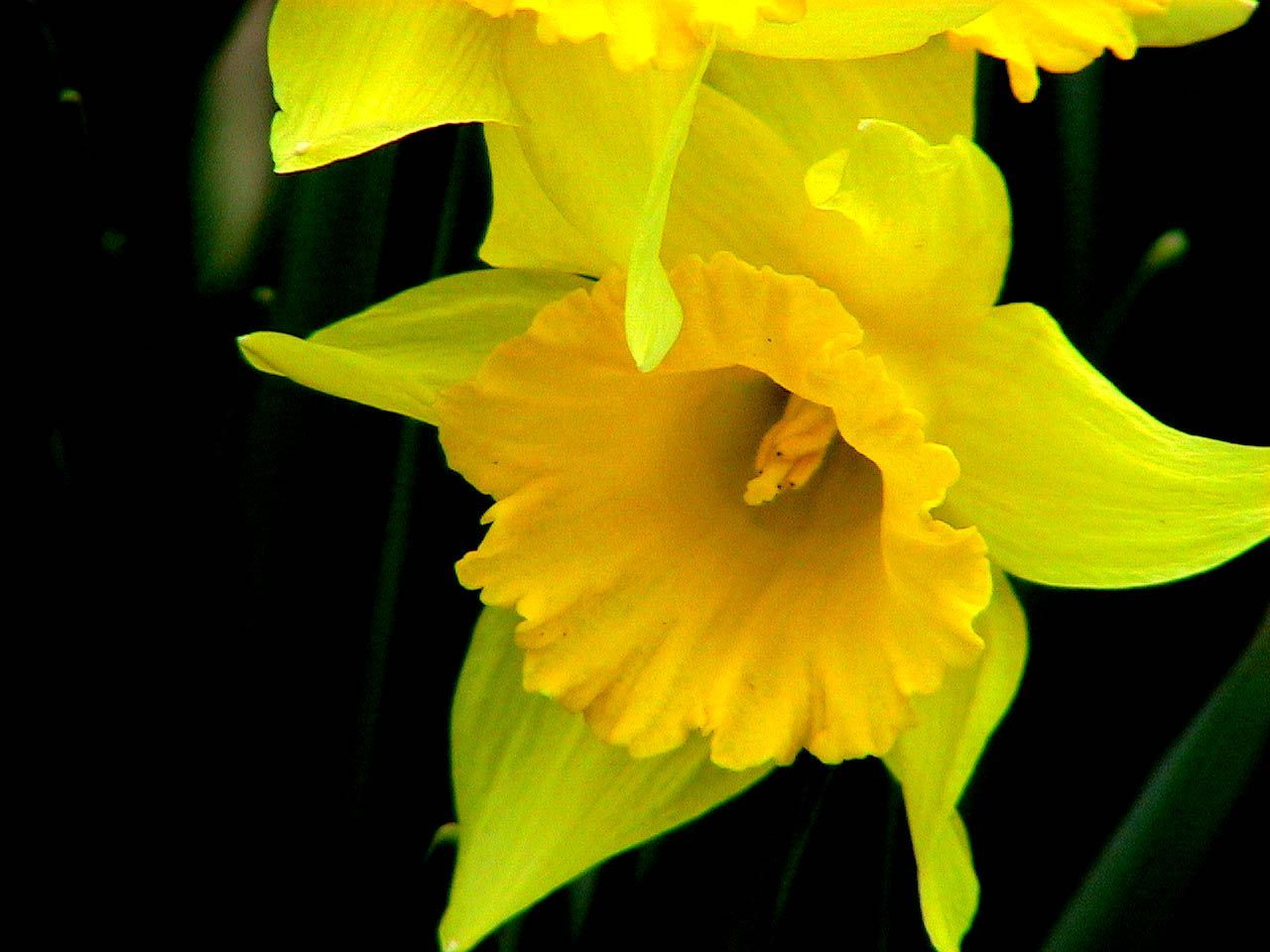 File Daffodils Flower Narcissus Jpg Wikimedia Commons