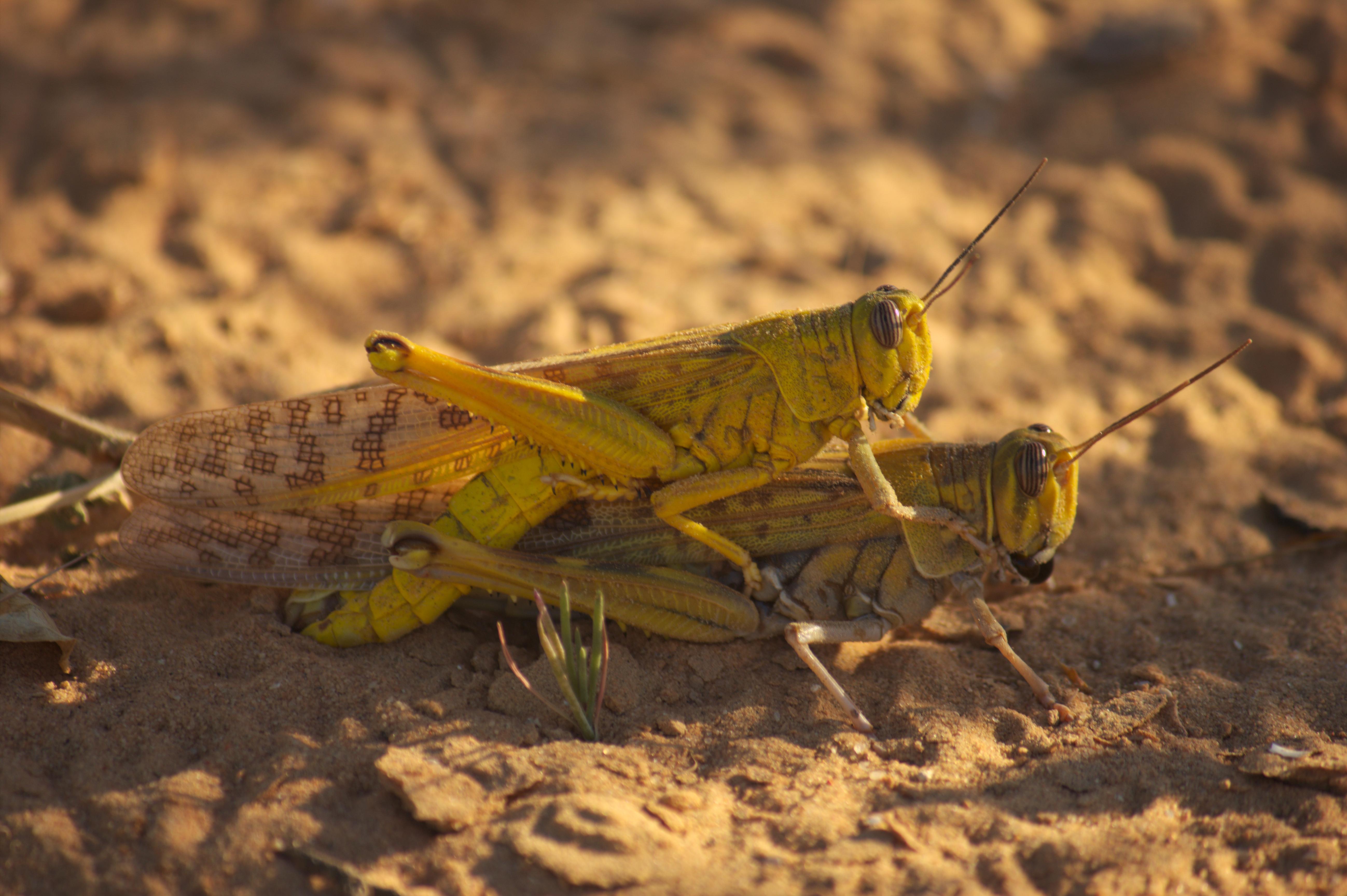 BG9jdXN0 on Grasshopper Life Cycle
