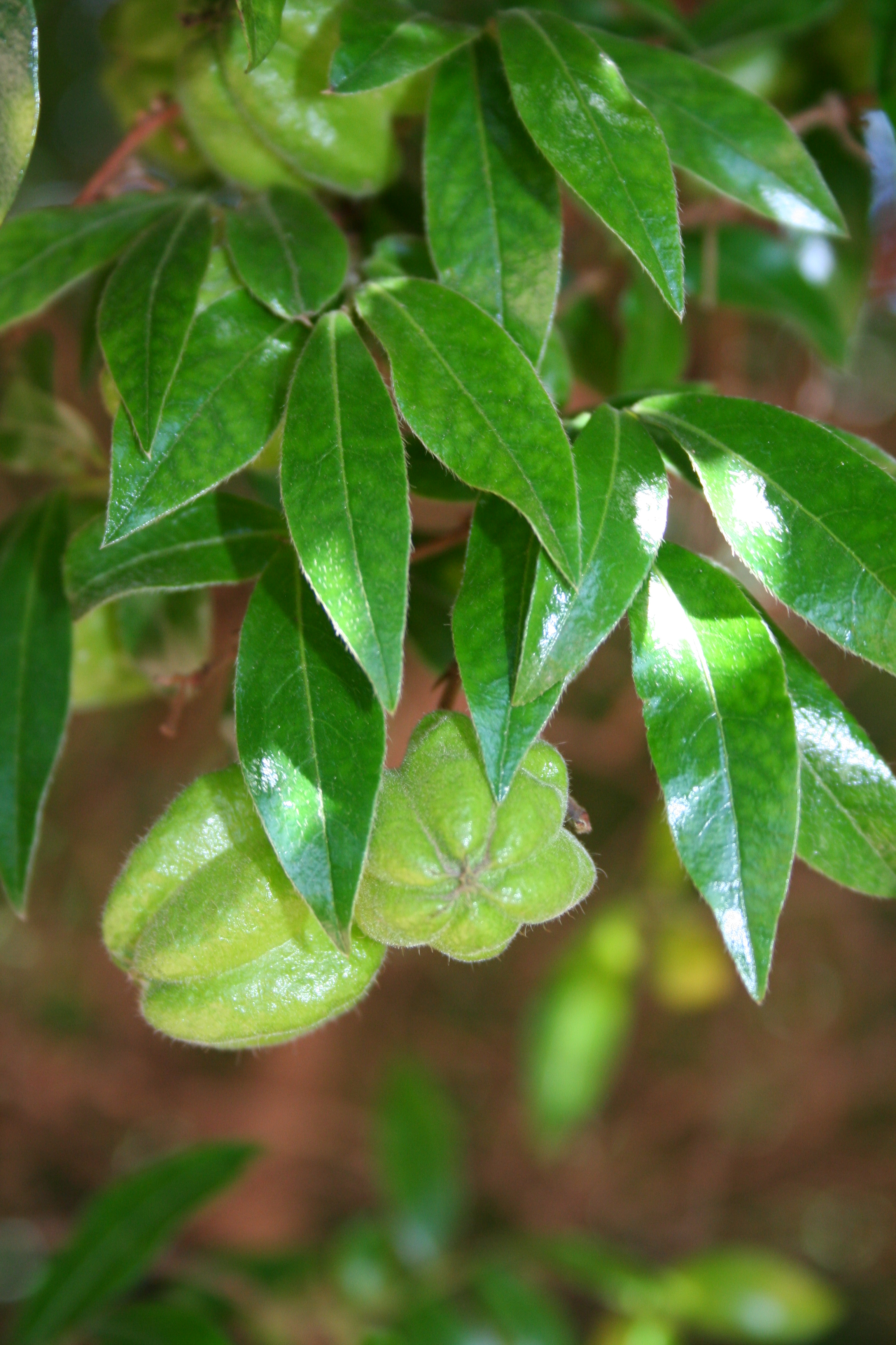http://upload.wikimedia.org/wikipedia/commons/6/6d/Diospyros_whyteana_IMG_2651.JPG