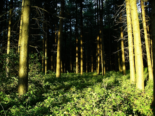 Evening, Sherwood Pines - geograph.org.uk - 198347