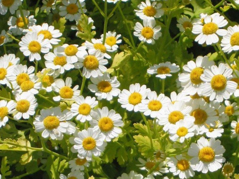 виды садовых ромашек фото и названия