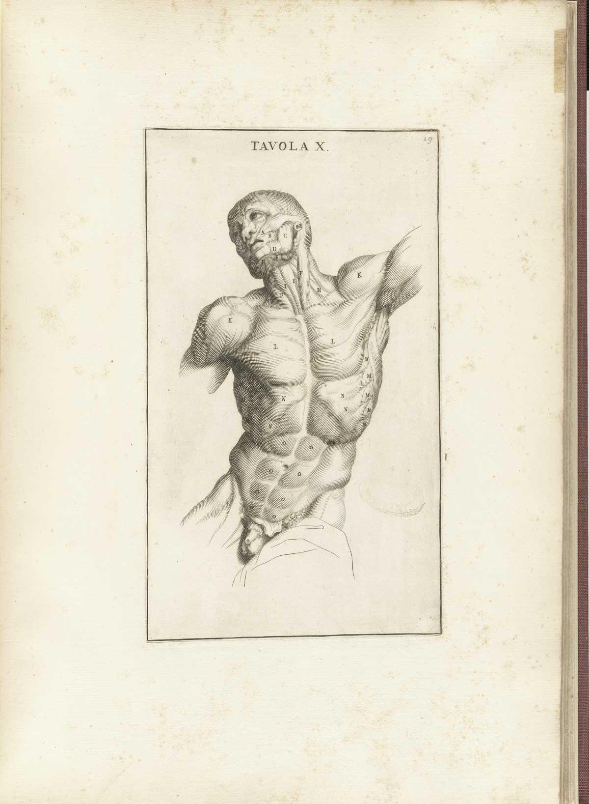 Muskulatur – Wikipedia