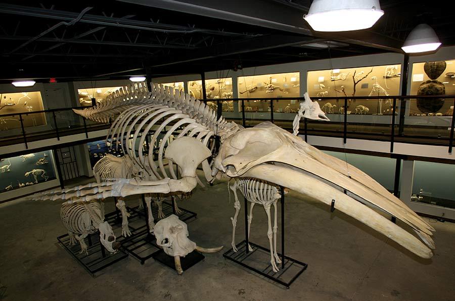 Description Humpback Whale Skeleton Museum of Osteology jpgHumpback Whale Skeleton Diagram