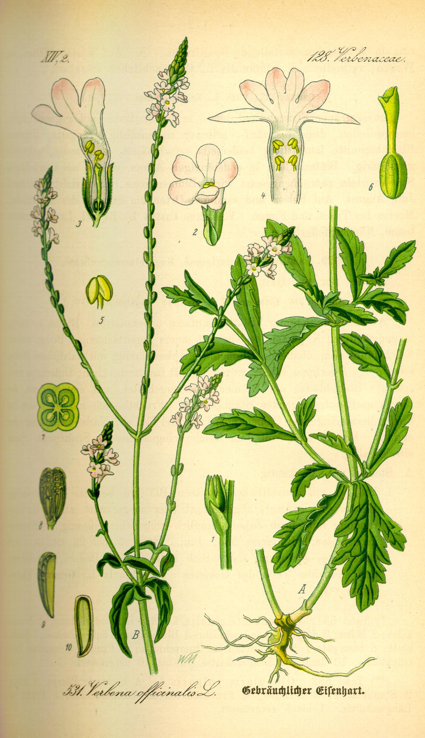 Depiction of Verbena officinalis