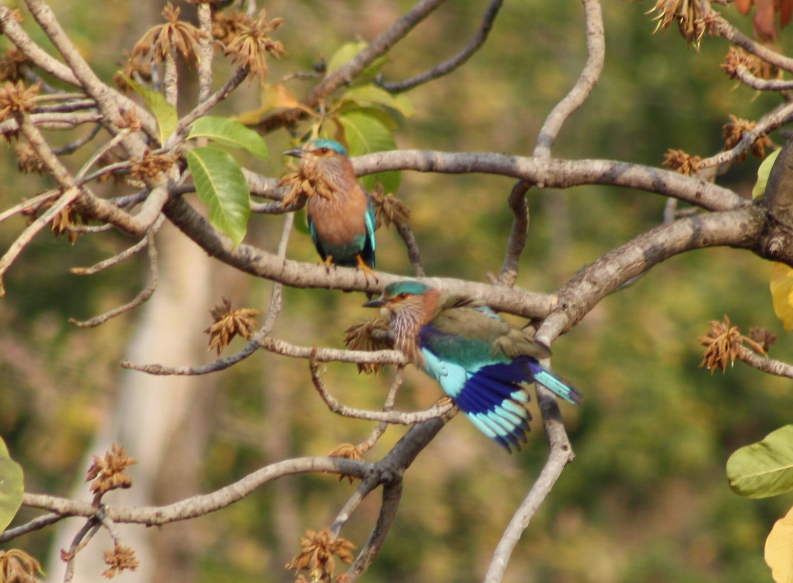 a description of the indian roller The european roller resembles a crow in size and build, but has stunningly colourful plumage, very unlike a crow the head, neck .