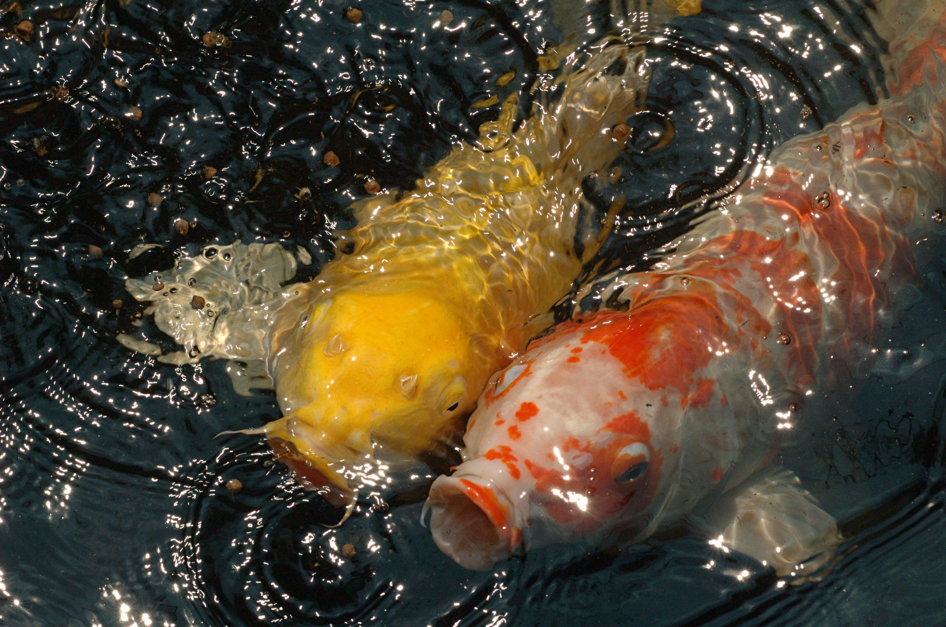 File koi lake gardens 20070216 wikimedia commons for Kumak s fish