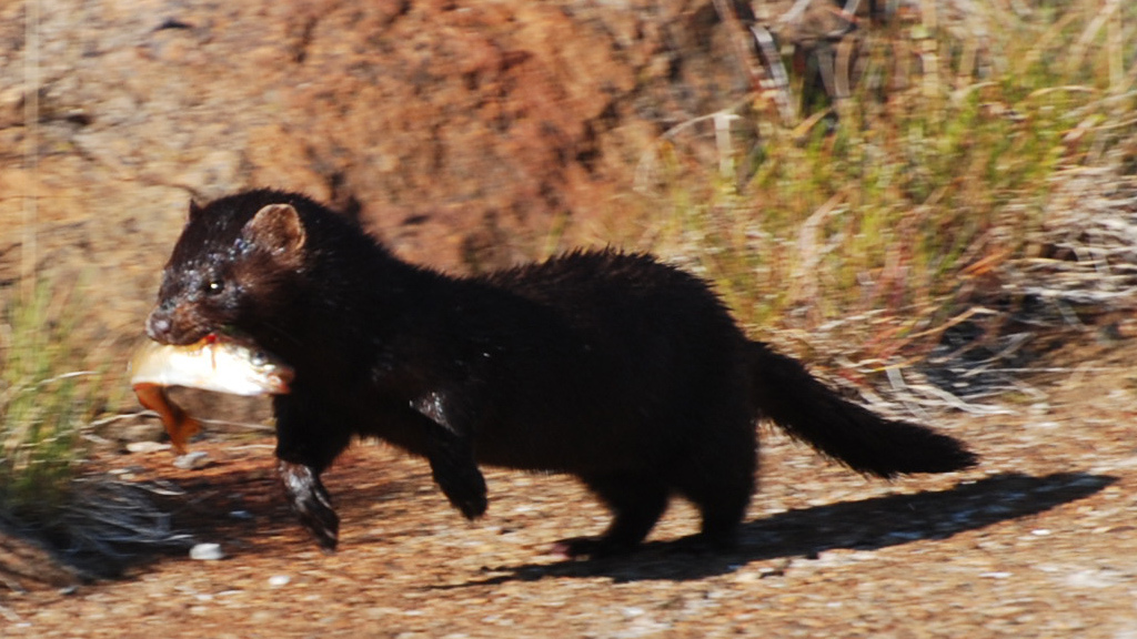 American mink - Wikipedia, the free encyclopedia