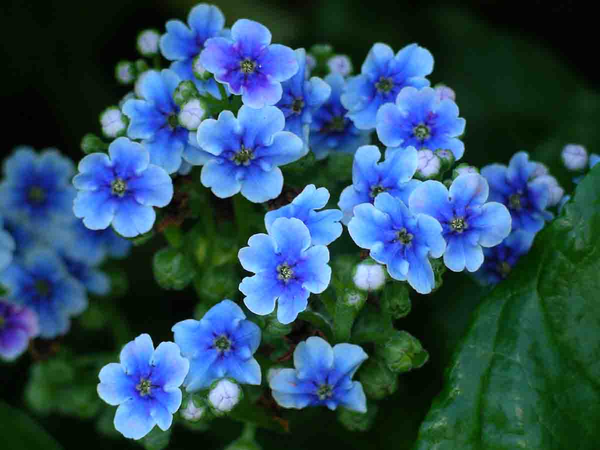 Native NZ Plants: Chatham Island Forget-Me-Not (Myosotidium)