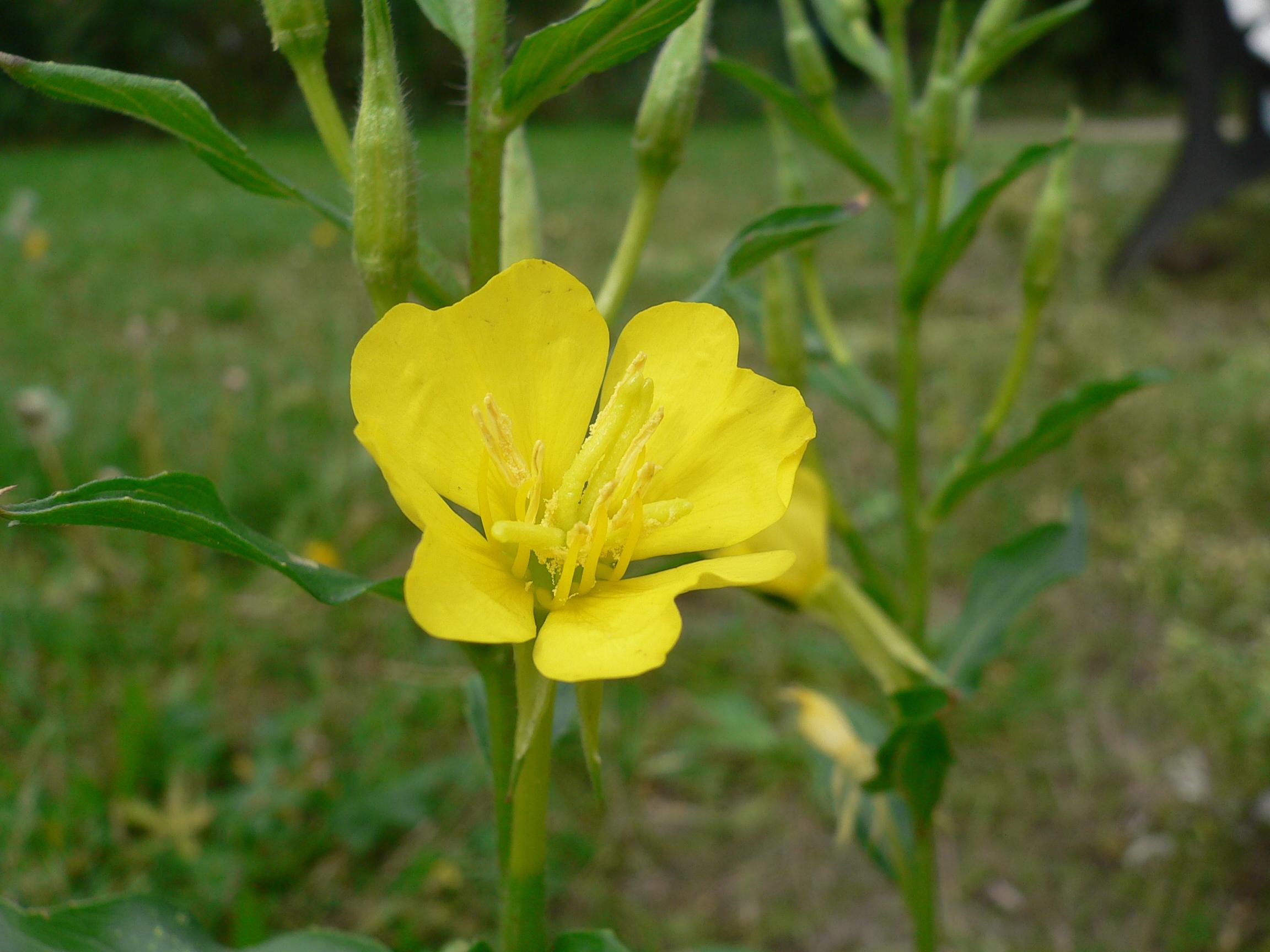 Oenothera biennis Evening Primrose Primrose Evening