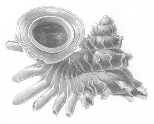 Tập tin:Opisthostoma everettii shell.png
