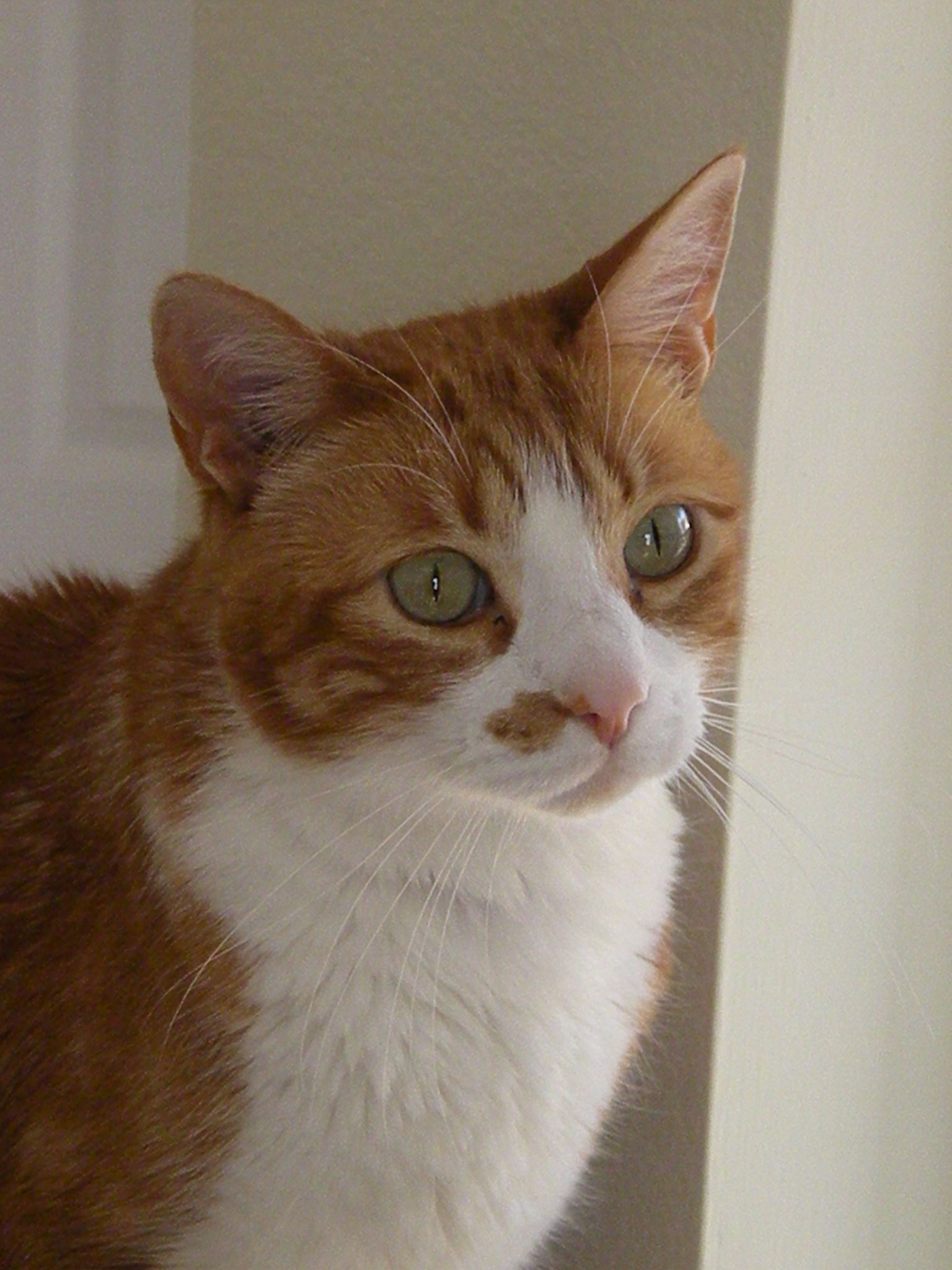 File:Orange tabby with green eyes.JPG - Wikimedia Commons