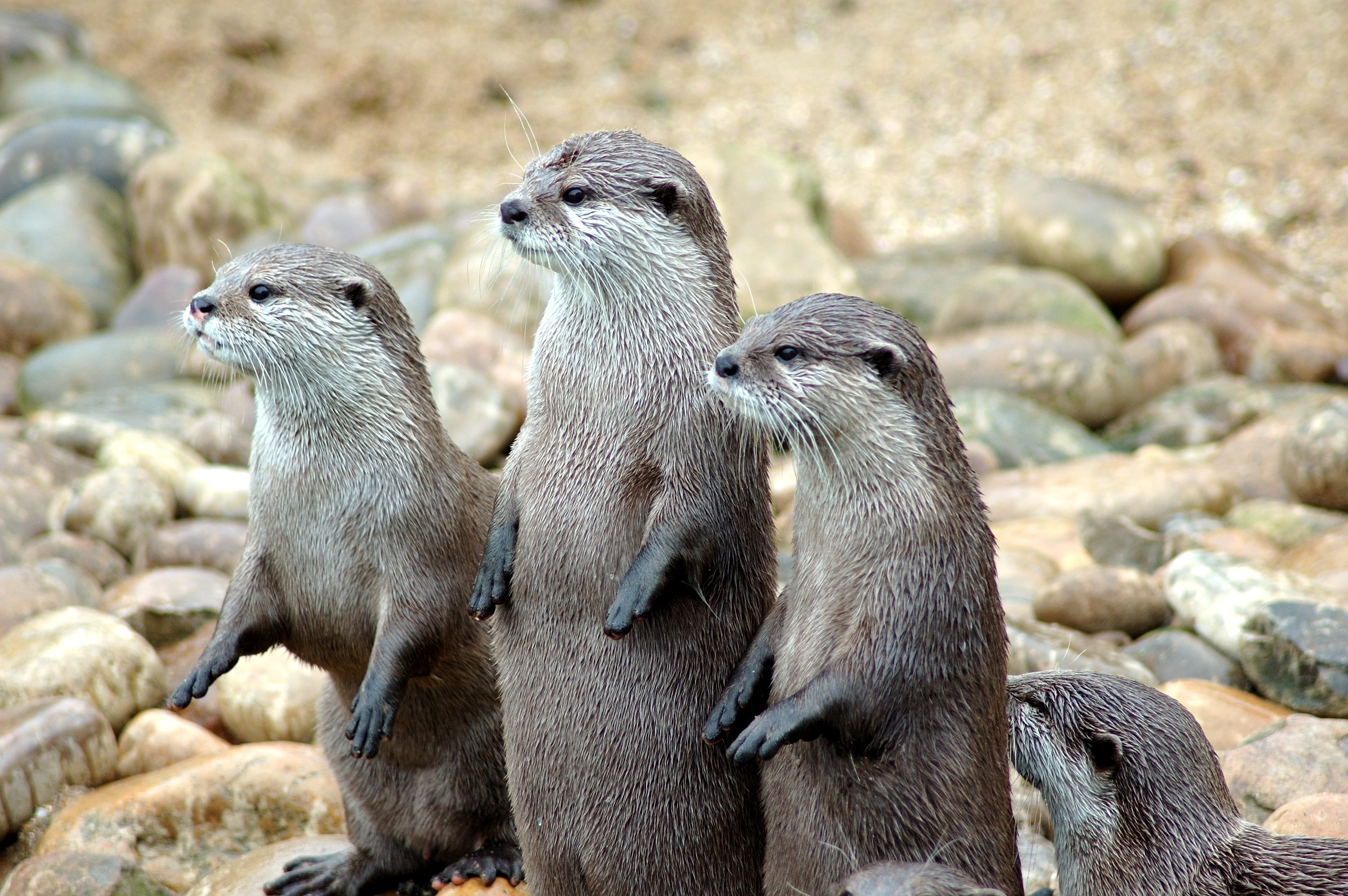 File Otters In A Row Jpg Wikimedia Commons