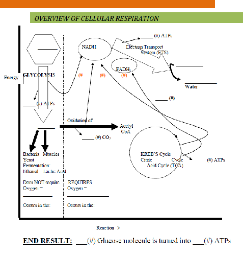 File Overview Of Cellular Respiration Png Wikimedia Commons