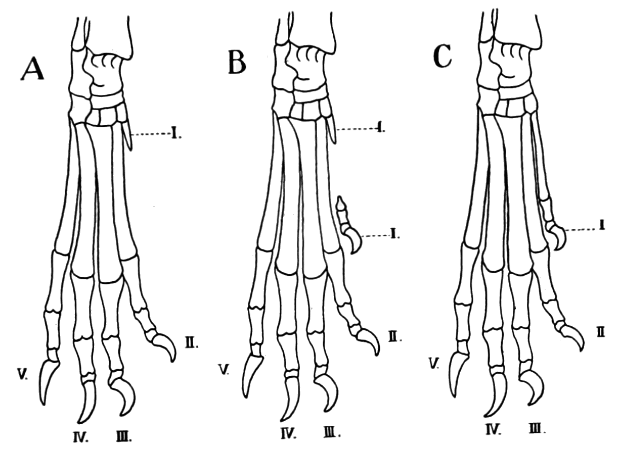 PSM V68 D343 Images of normal and polydactyl structure of skeletal elements of dogs.png