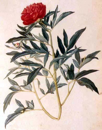 File:Paeonia officinalis.JPG