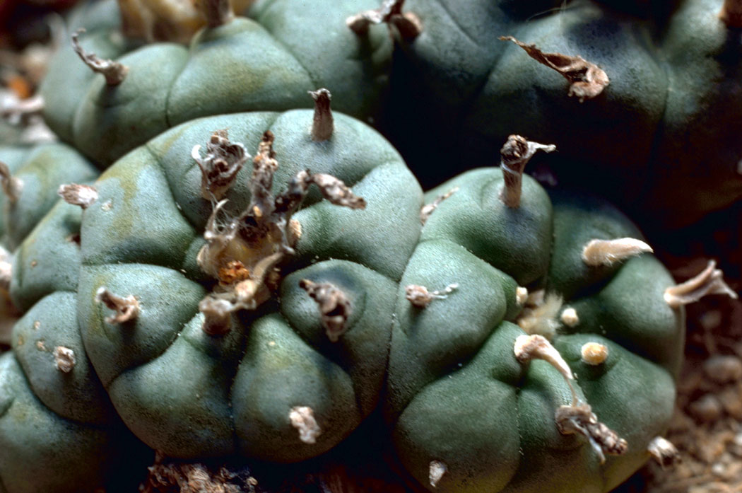 Just this peyote cactus : mescaline |Peyote Cactus