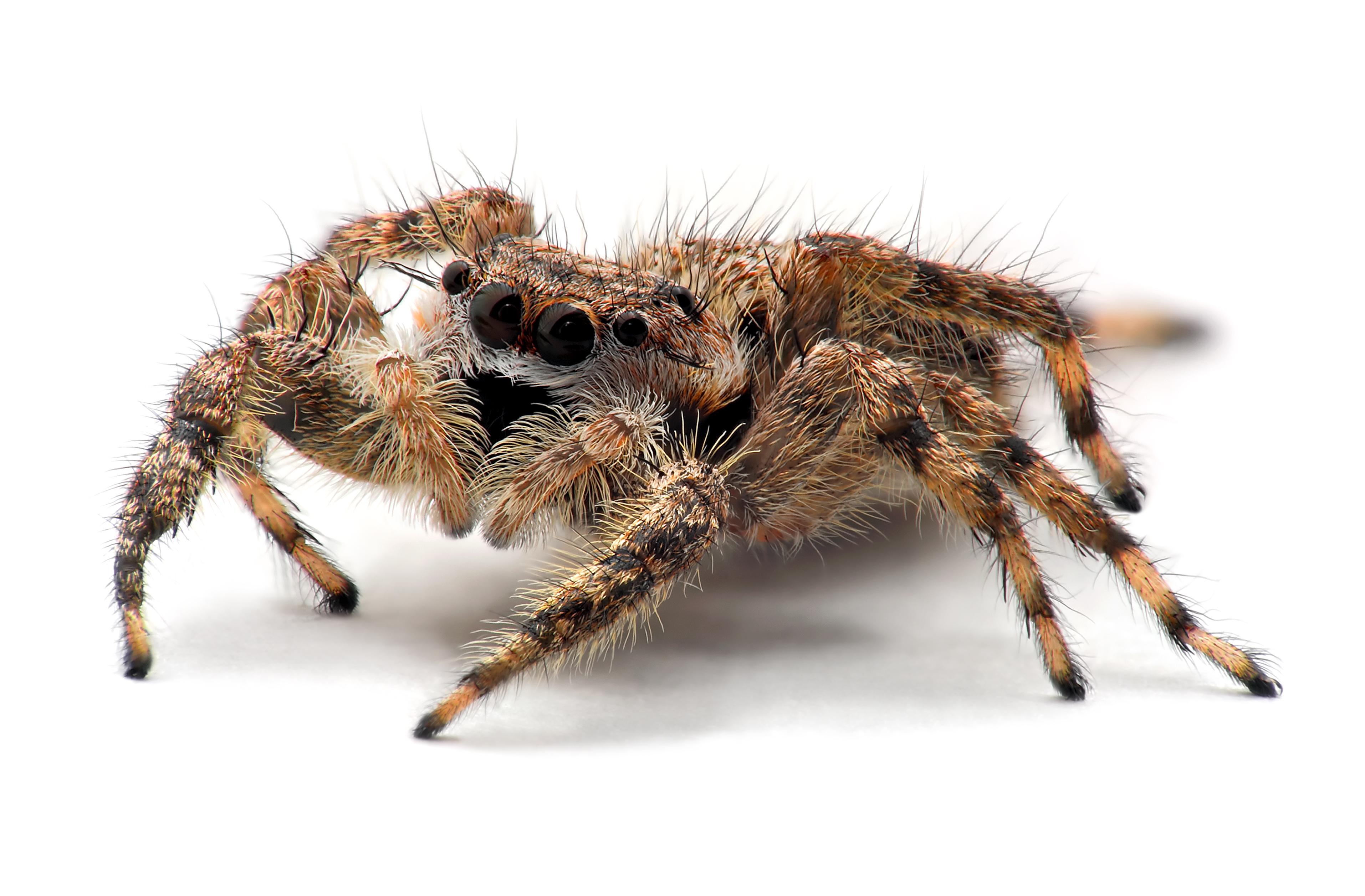Spider Anatomy Wikiwand
