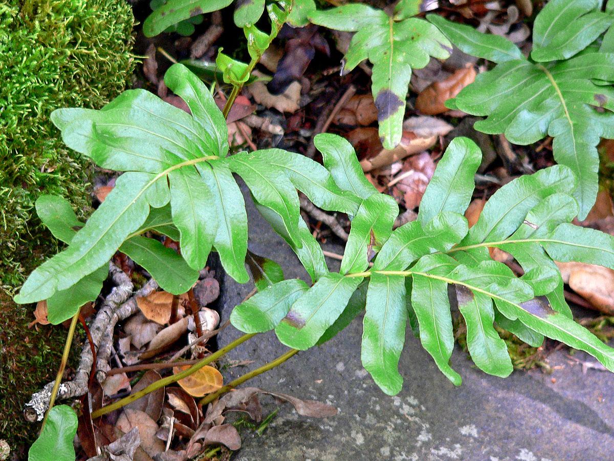 Polypodium_scouleri_2 Polypodiaceae House Plant on peperomia house plant, monstera deliciosa house plant, philodendron house plant, fern house plant, spanish moss house plant,