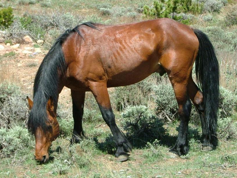 File Pryor Mountains Feral Horse 2009 Jpg Wikimedia