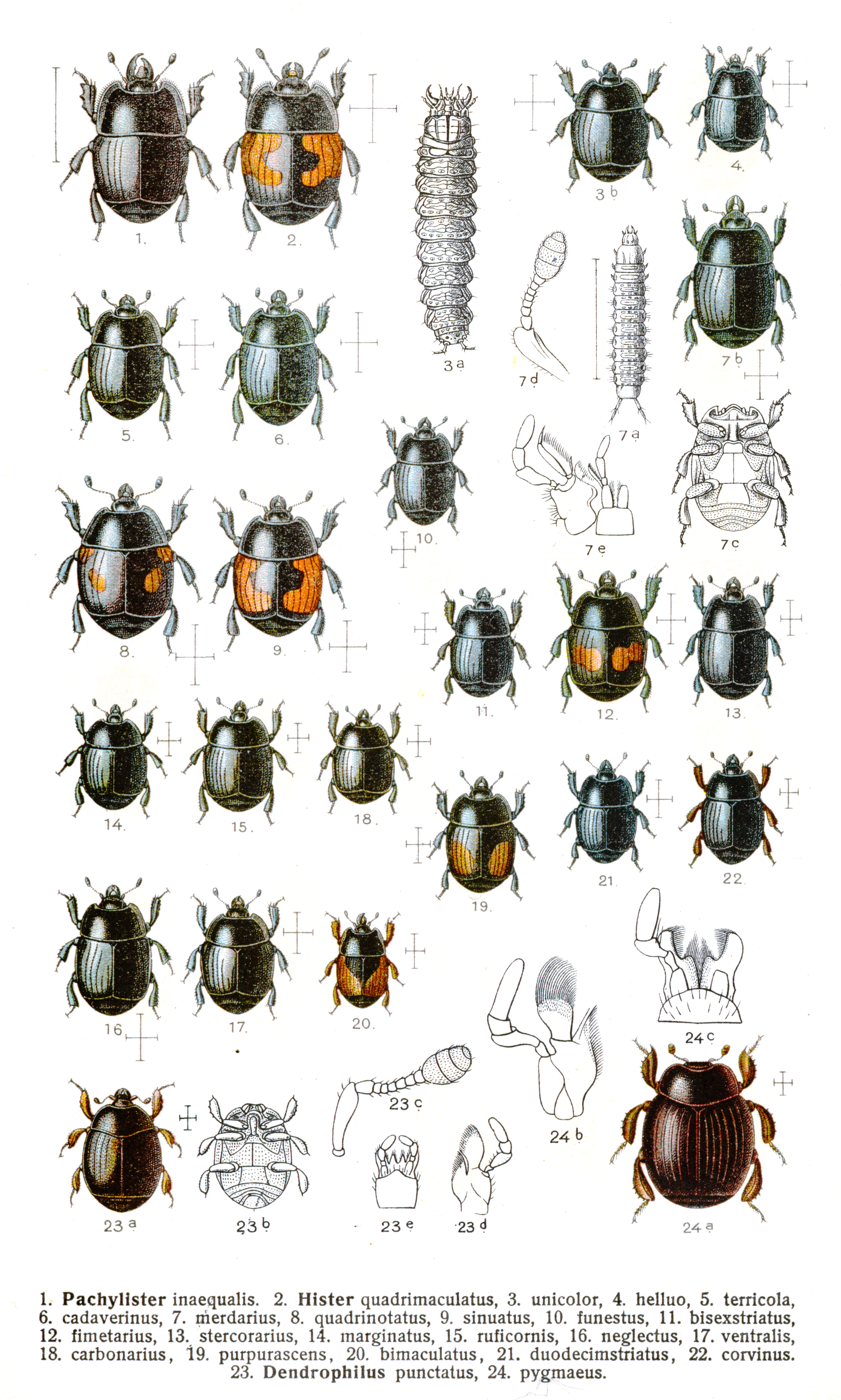 Histeridae Wikipedia