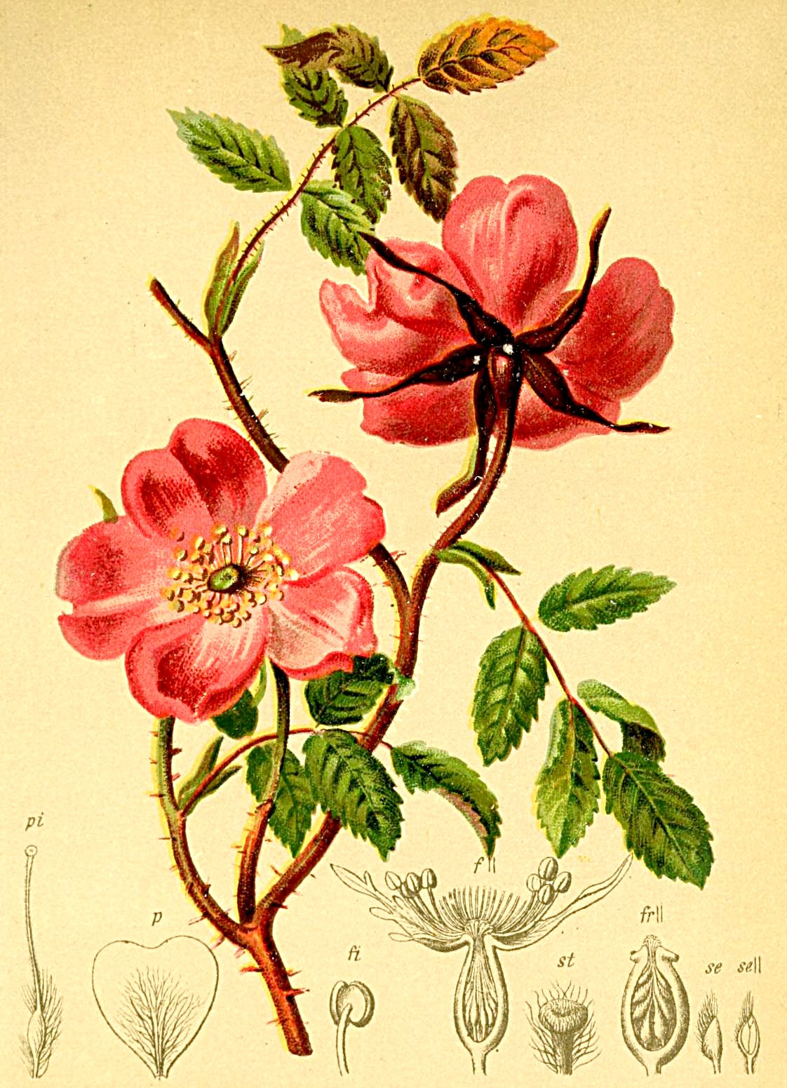 FileRosa Alpina Atlas Alpenflorajpg Wikimedia Commons - Rosa alpina